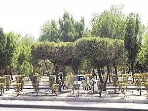 """شجرة """"الكوناكاربس"""""""